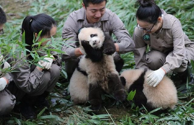 Panda Cubs Born in 2017 Make Public Appearance