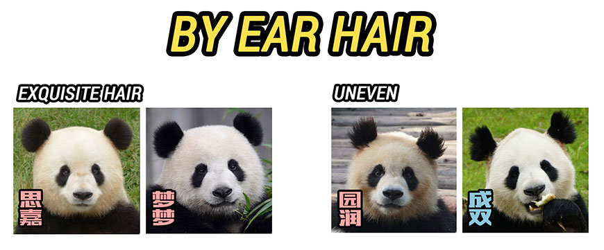 Identify pandas by ear hair