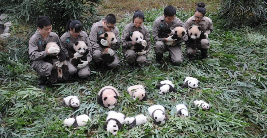 Super Adorkable Alert! 36 Panda Cubs Born In 2017 Make Public Appearance