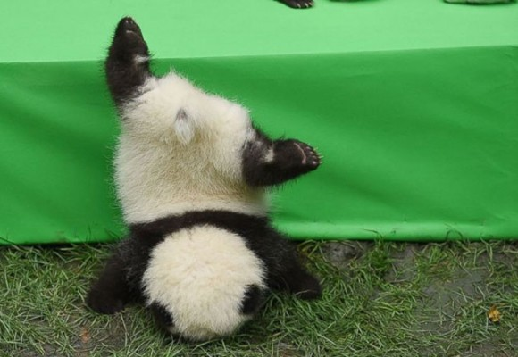 Do you remember the  face plants-ground panda Fushun, how is he doing now?