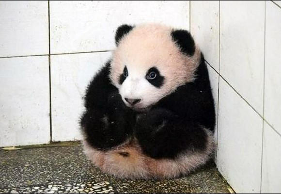 Panda Hi a plump adorable well-behaved panda, he stays still when nanny cleans his room