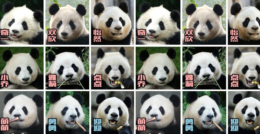 How to identify pandas, a lot of differences between one another, they are not the same